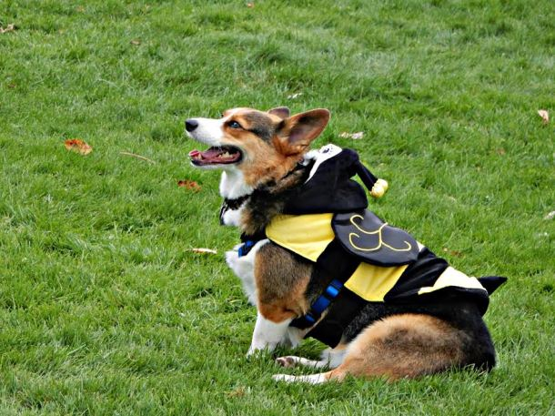 corgis-in-the-park-2