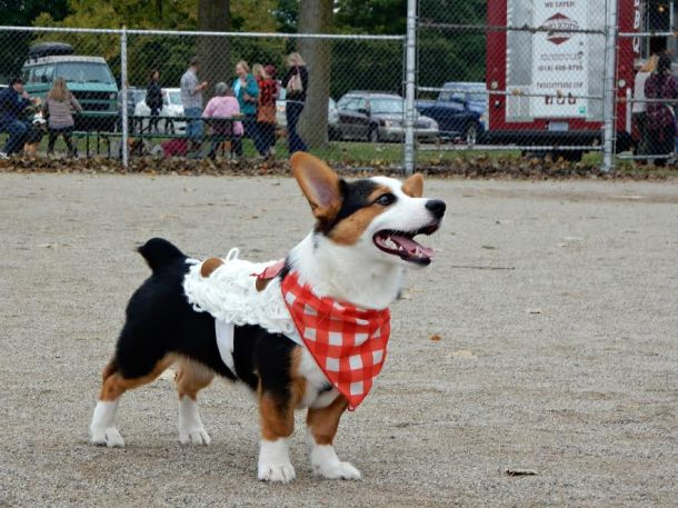 corgis-in-the-park-3